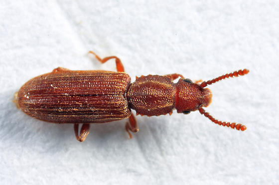 Saw-Toothed Grain Beetle photo by Tom Murray, http://bugguide.net/node/view/786842