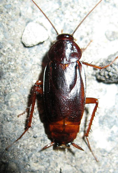 Oriental Cockroach photo by Ken Schneider, http://bugguide.net/node/view/321760