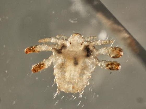 Crab Lice
