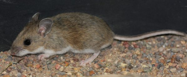 Deer Mouse photo by  J. N. Stuart, https://flic.kr/p/9MqqgH